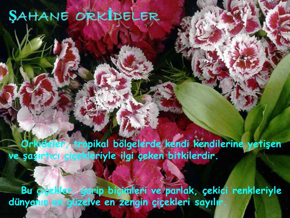 ŞAHANE ORKİDELER ŞAHANE ORKİDELER