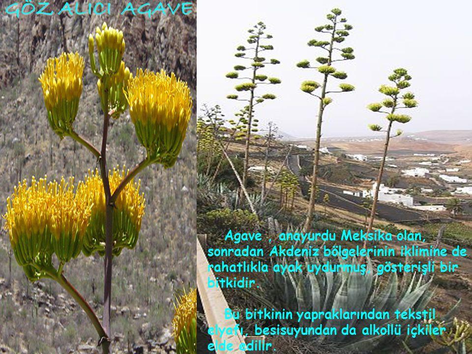 GÖZ ALICI AGAVE Agave , anayurdu Meksika olan, sonradan Akdeniz bölgelerinin iklimine de rahatlıkla ayak uydurmuş, gösterişli bir bitkidir.