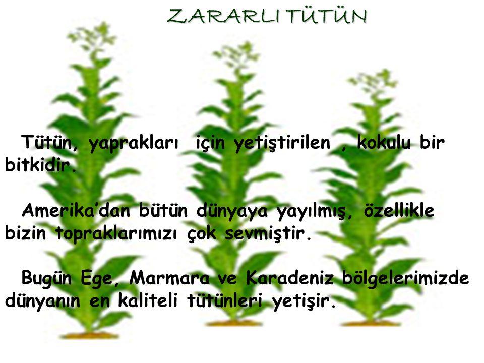 ZARARLI TÜTÜN Tütün, yaprakları için yetiştirilen , kokulu bir bitkidir.