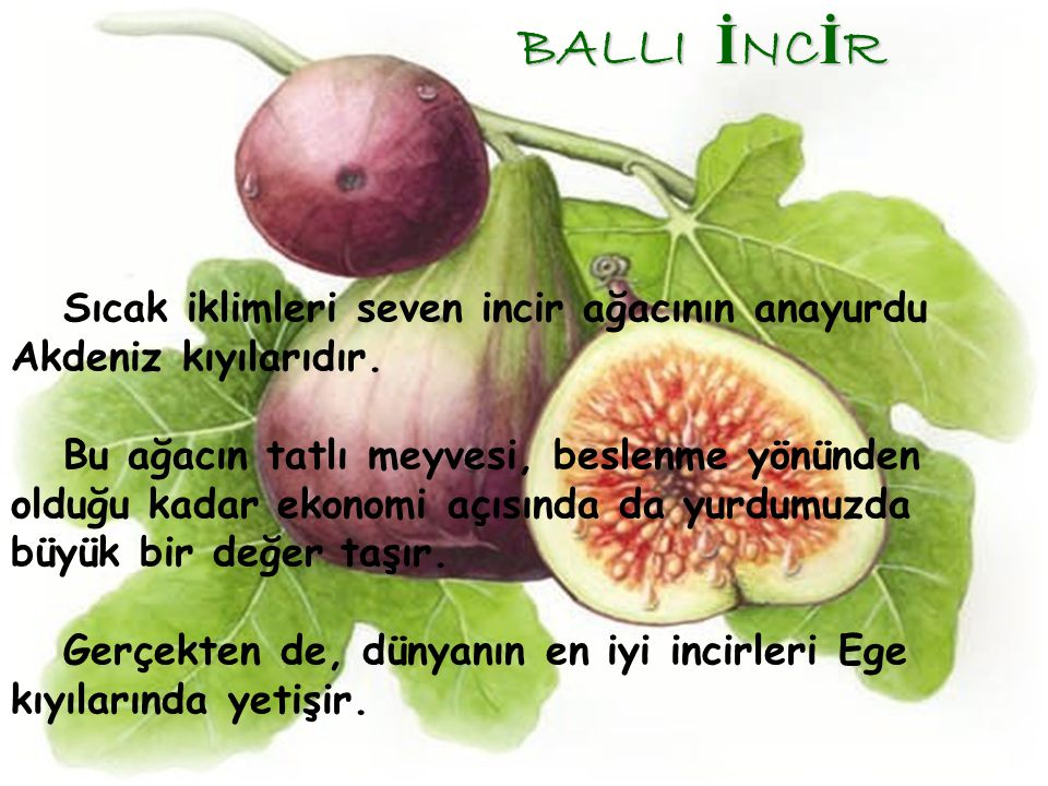 BALLI İNCİR Sıcak iklimleri seven incir ağacının anayurdu Akdeniz kıyılarıdır.