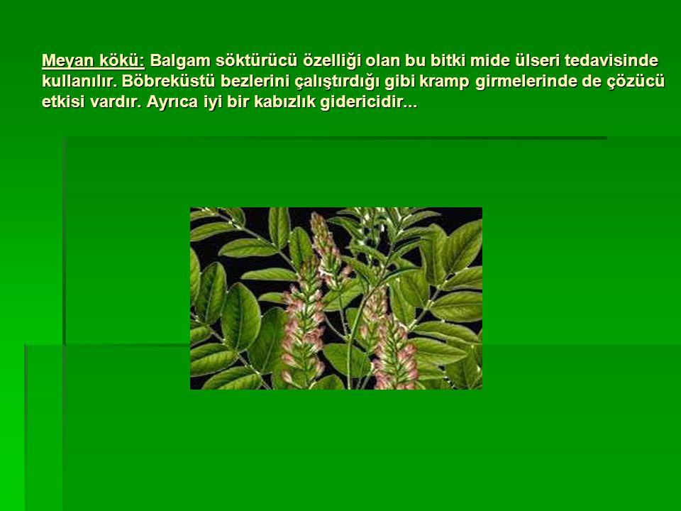 Meyan kökü: Balgam söktürücü özelliği olan bu bitki mide ülseri tedavisinde kullanılır.