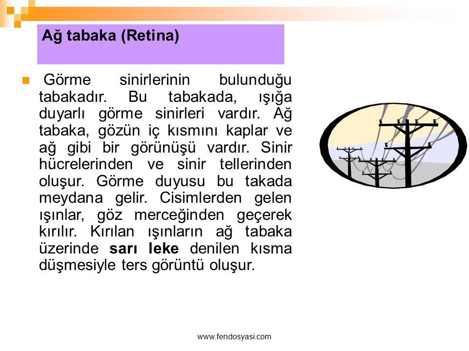 Ağ tabaka (Retina)