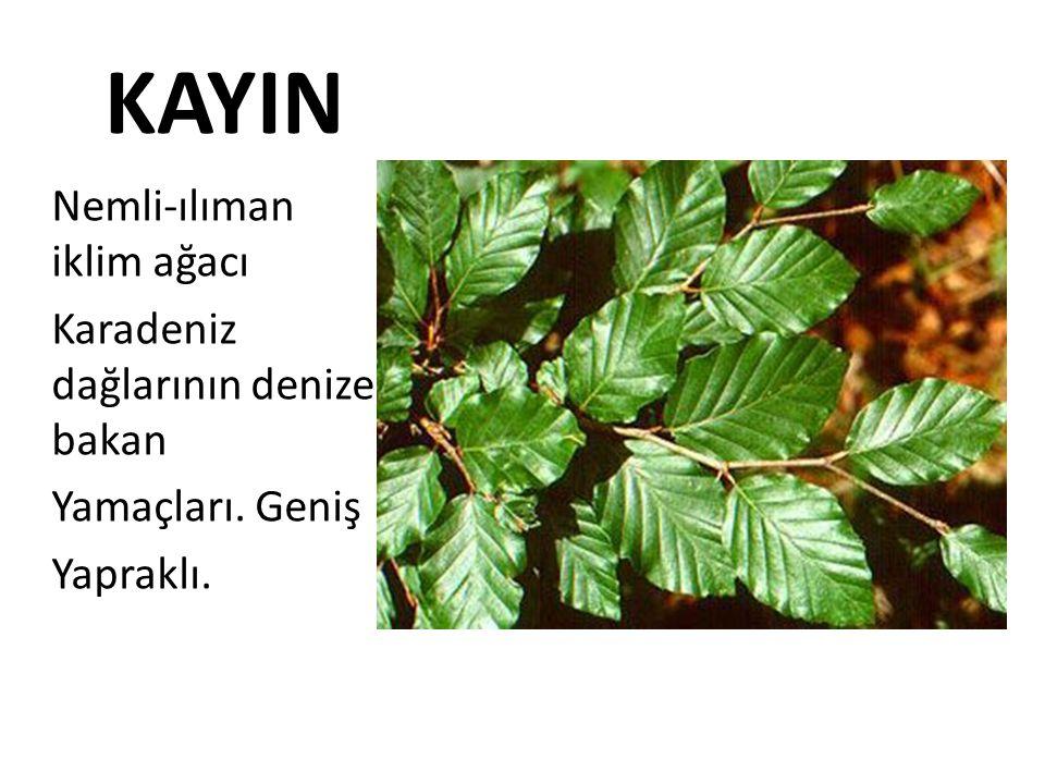 KAYIN Nemli-ılıman iklim ağacı Karadeniz dağlarının denize bakan