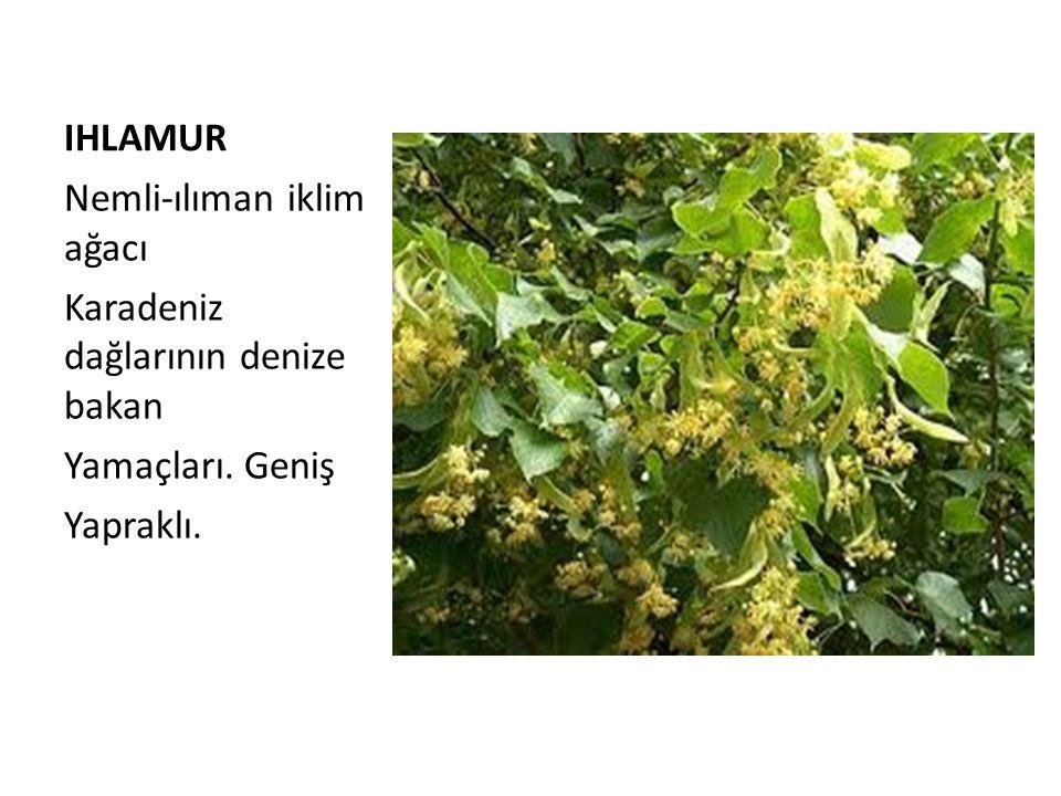 IHLAMUR Nemli-ılıman iklim ağacı Karadeniz dağlarının denize bakan Yamaçları. Geniş Yapraklı.
