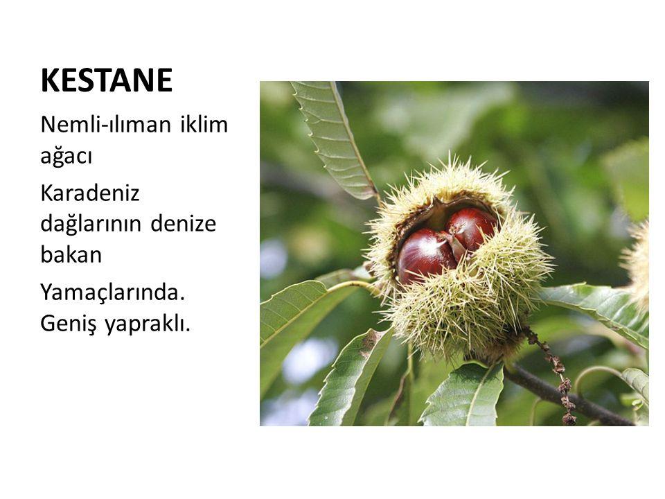 KESTANE Nemli-ılıman iklim ağacı Karadeniz dağlarının denize bakan