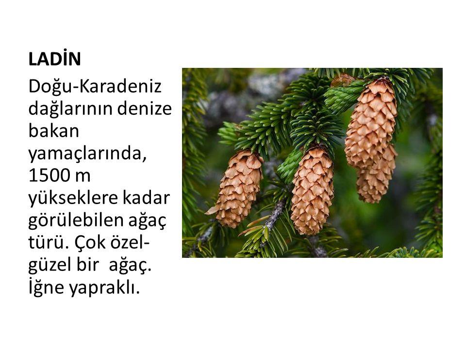 LADİN Doğu-Karadeniz dağlarının denize bakan yamaçlarında, 1500 m yükseklere kadar görülebilen ağaç türü.