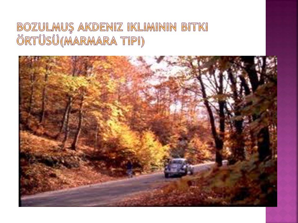 Bozulmuş Akdeniz ikliminin Bitki Örtüsü(Marmara Tipi)