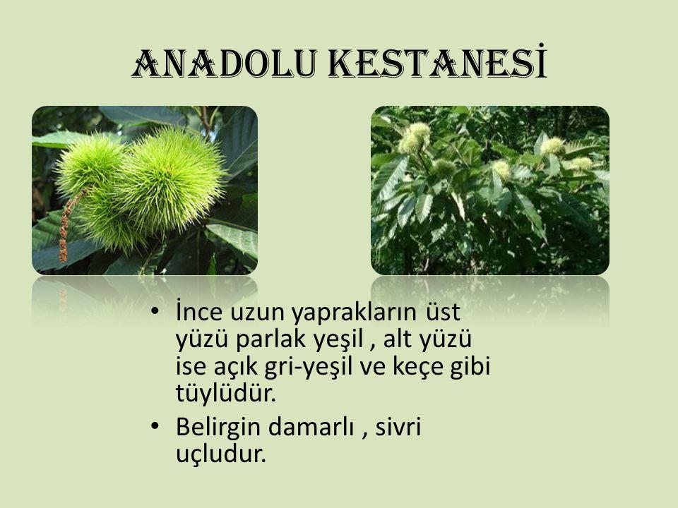 ANADOLU KESTANESİ İnce uzun yaprakların üst yüzü parlak yeşil , alt yüzü ise açık gri-yeşil ve keçe gibi tüylüdür.