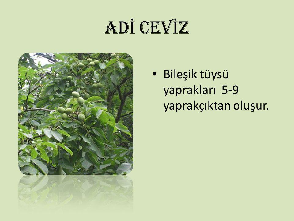 ADİ CEVİZ Bileşik tüysü yaprakları 5-9 yaprakçıktan oluşur.