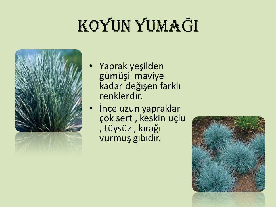 KOYUN YUMAĞI Yaprak yeşilden gümüşi maviye kadar değişen farklı renklerdir.