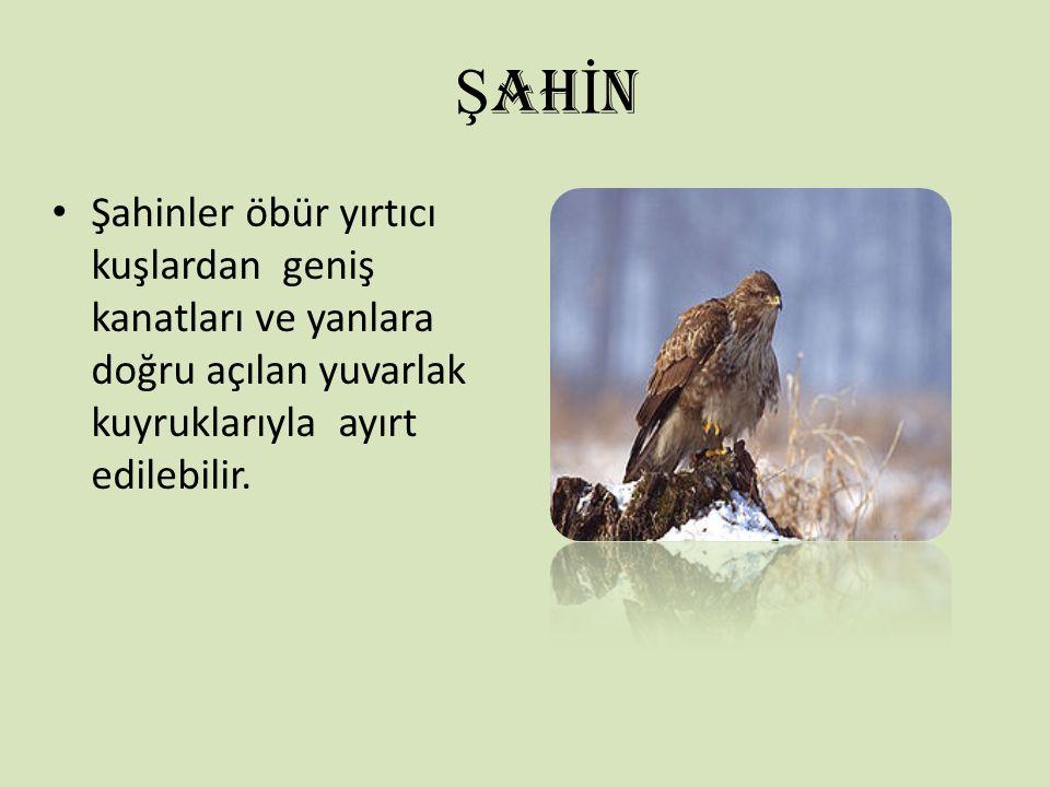 ŞAHİN Şahinler öbür yırtıcı kuşlardan geniş kanatları ve yanlara doğru açılan yuvarlak kuyruklarıyla ayırt edilebilir.
