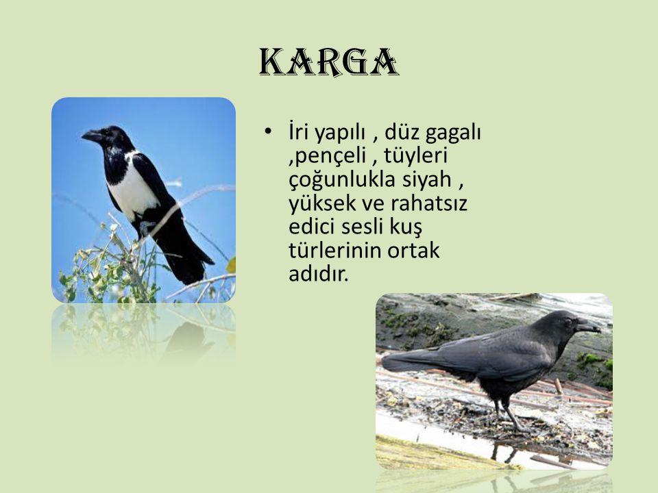 KARGA İri yapılı , düz gagalı ,pençeli , tüyleri çoğunlukla siyah , yüksek ve rahatsız edici sesli kuş türlerinin ortak adıdır.