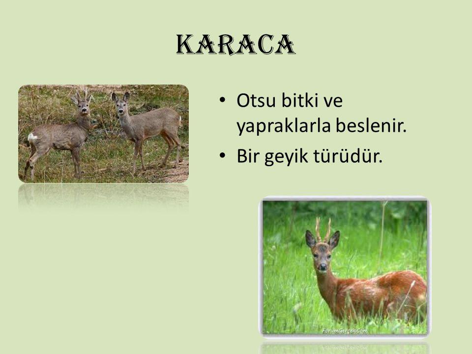 KARACA Otsu bitki ve yapraklarla beslenir. Bir geyik türüdür.