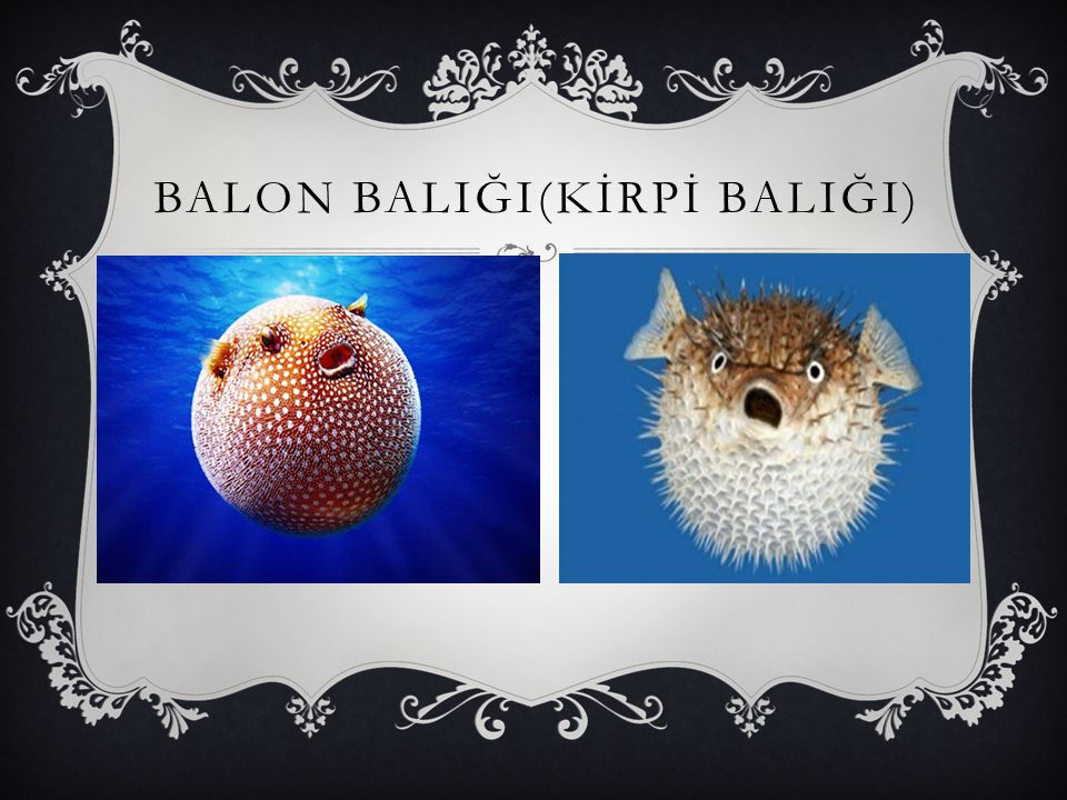 BALON BALIĞI(KİRPİ BALIĞI)