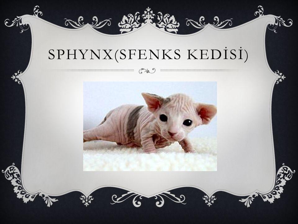 SPHYNX(SFENKS KEDİSİ)