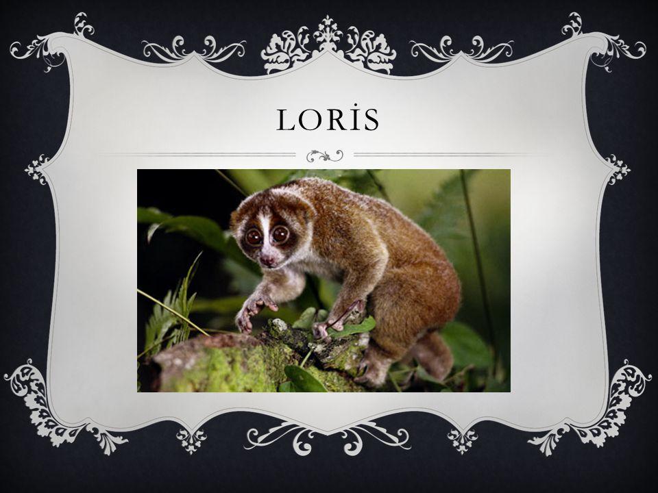 LORİS