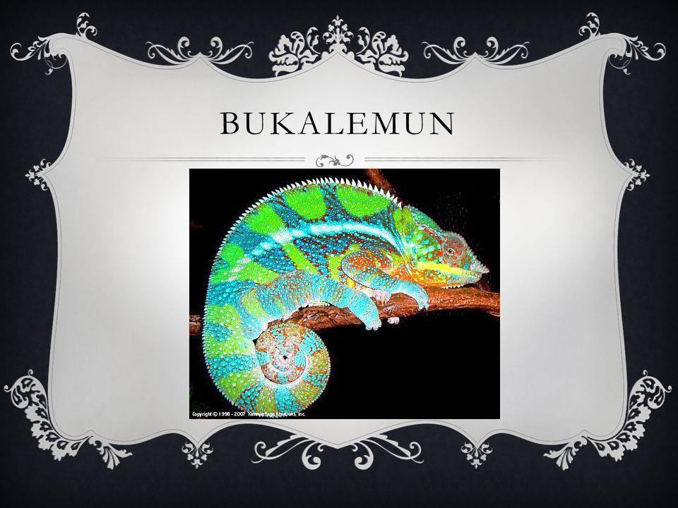 BUKALEMUN