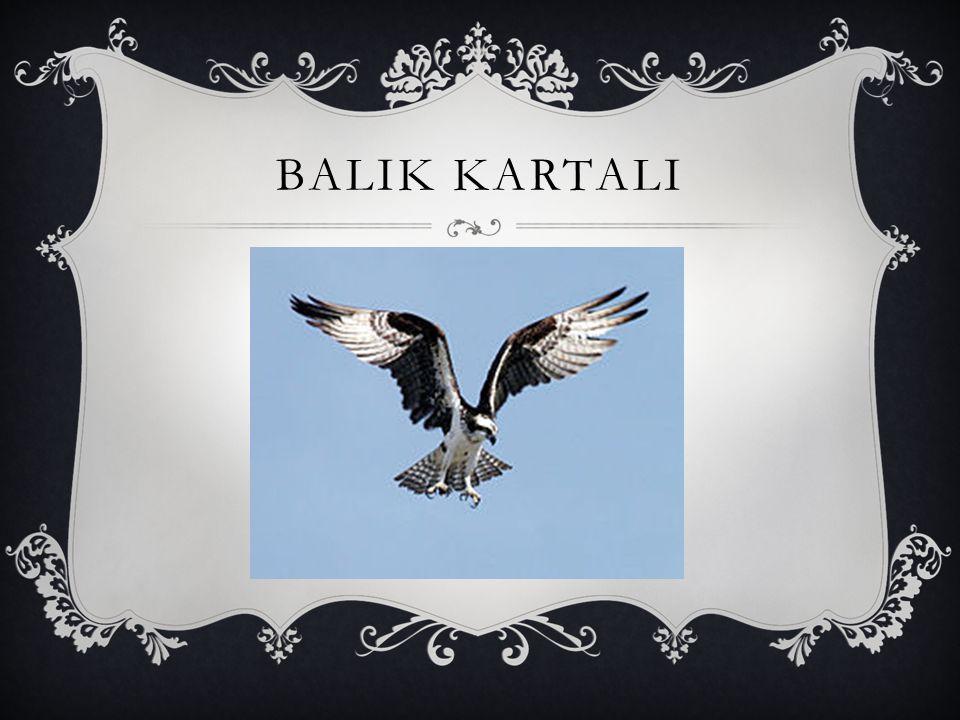 BALIK KARTALI