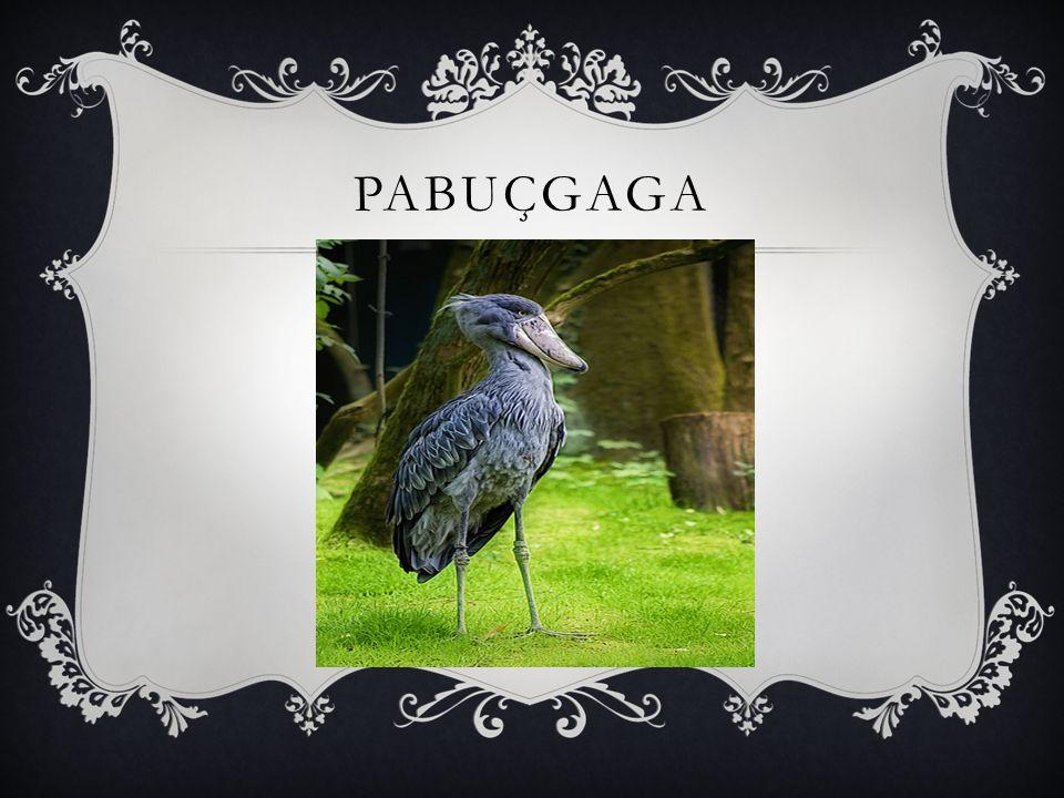 PABUÇGAGA