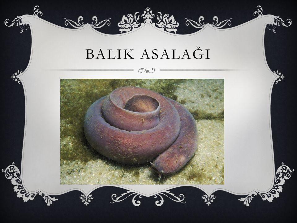 BALIK ASALAĞI