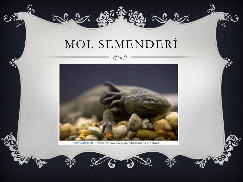 MOL SEMENDERİ