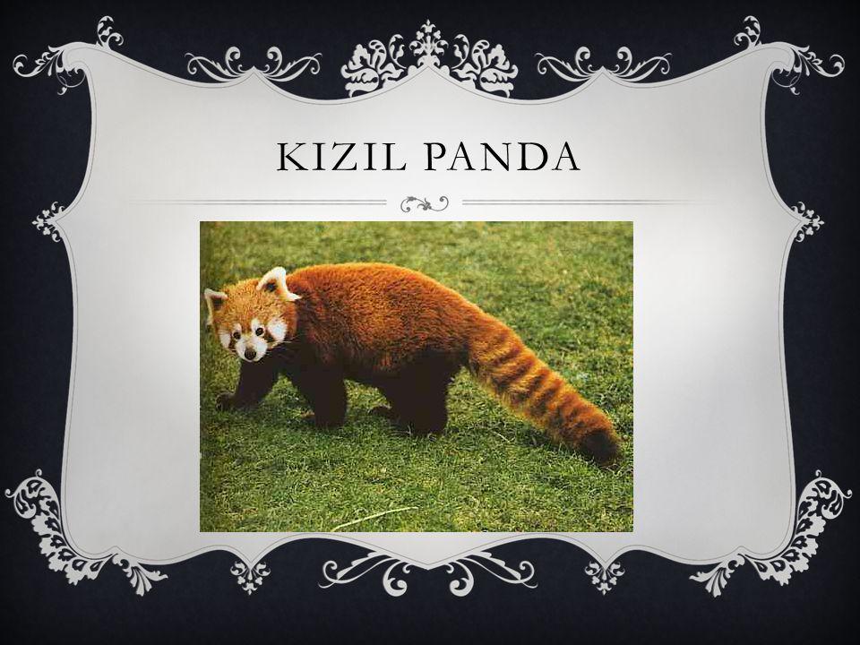 KIZIL PANDA