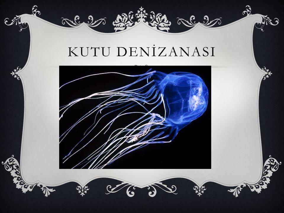 KUTU DENİZANASI