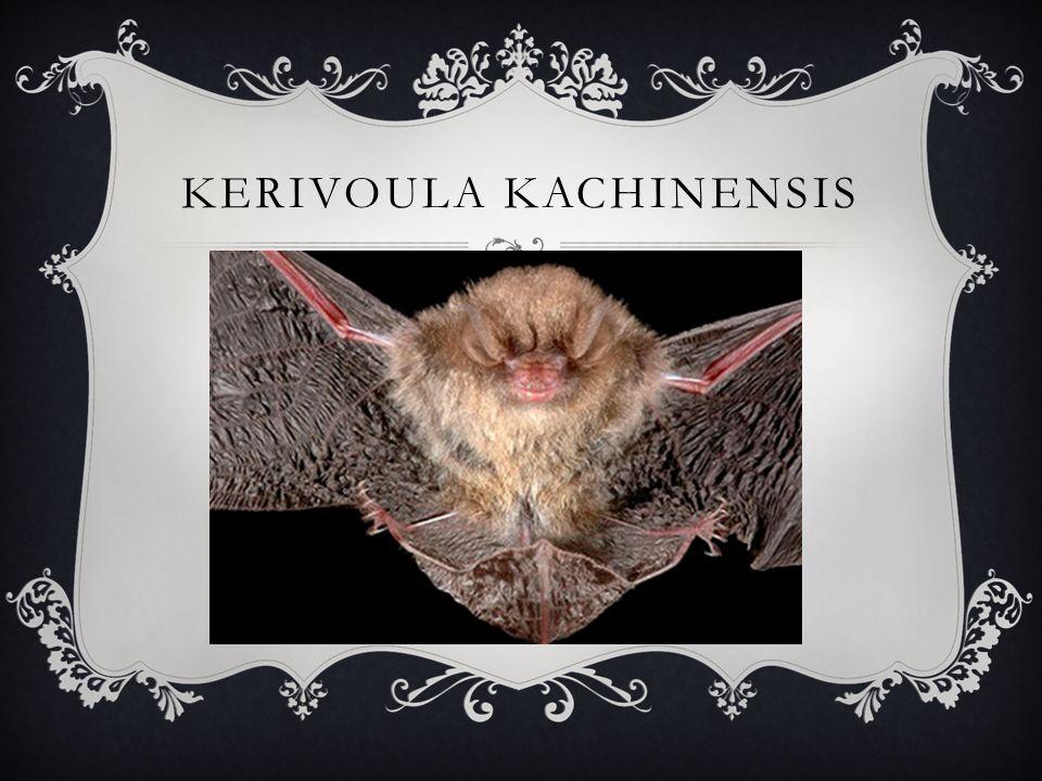 kerivoula kachinensis