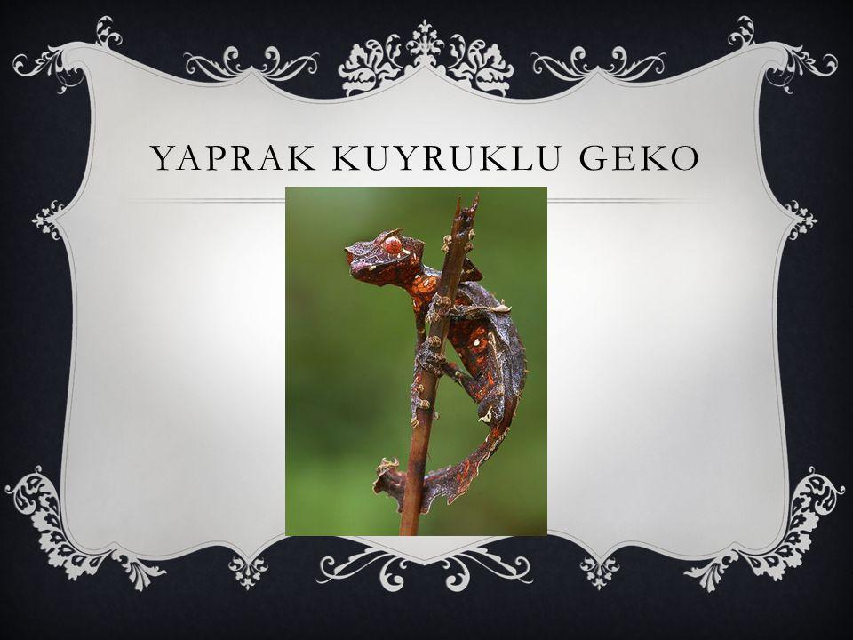 YAPRAK KUYRUKLU GEKO