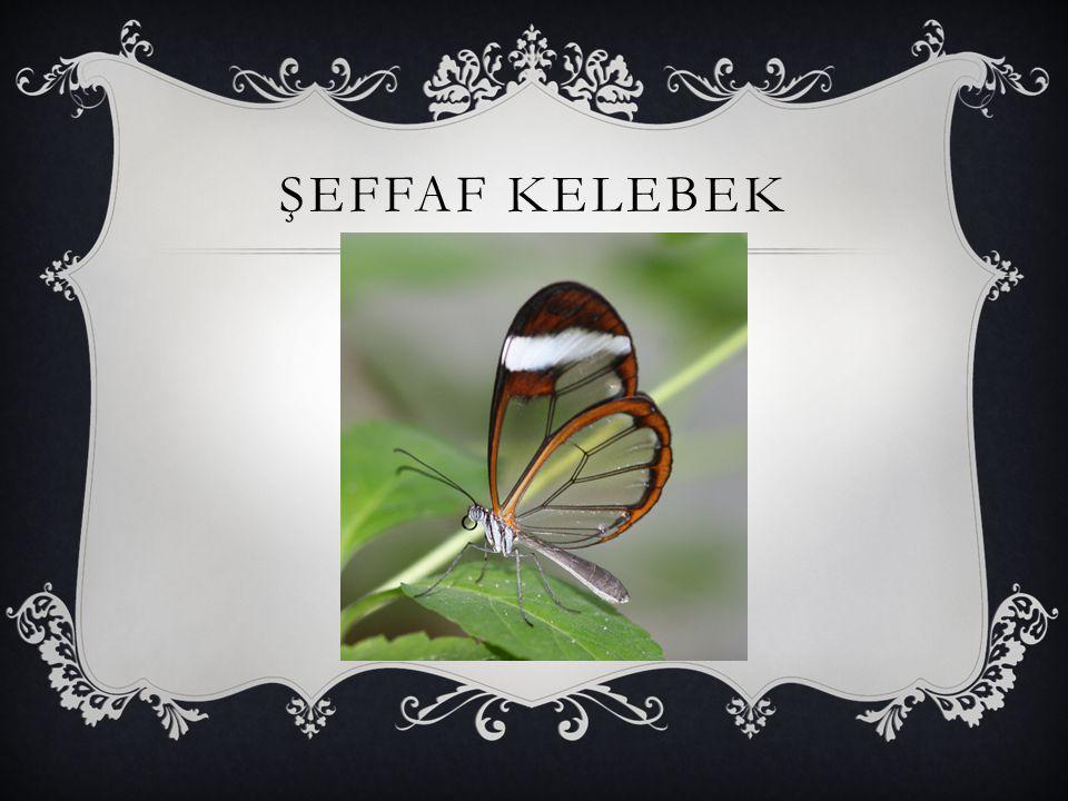 ŞEFFAF KELEBEK