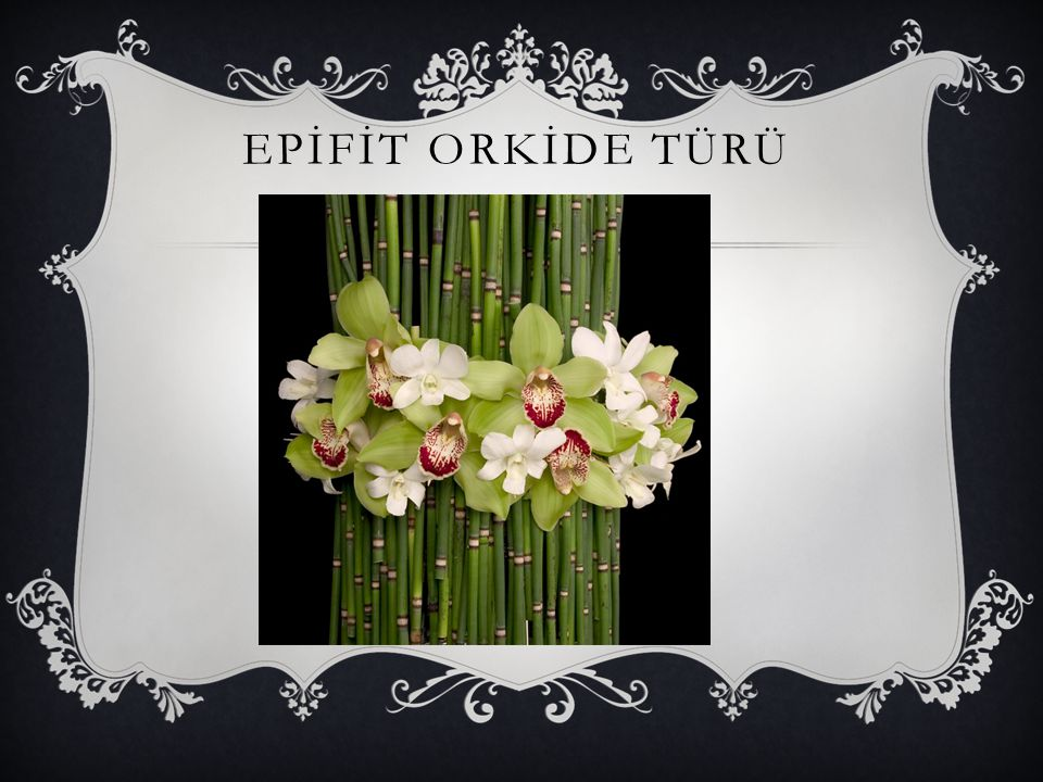 EPİFİT ORKİDE TÜRÜ