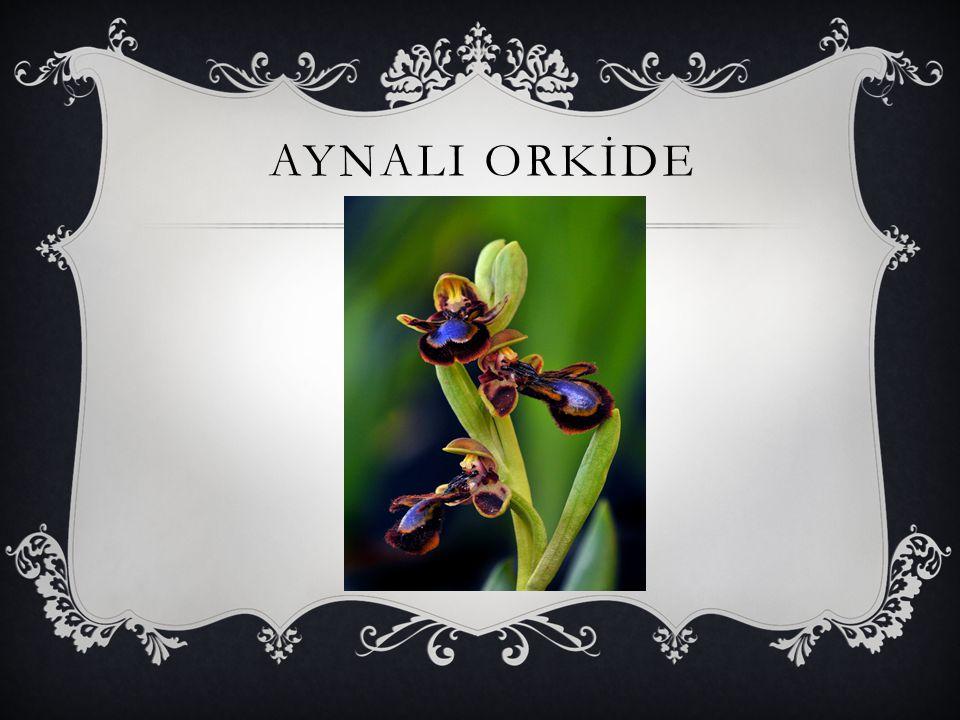 AYNALI ORKİDE