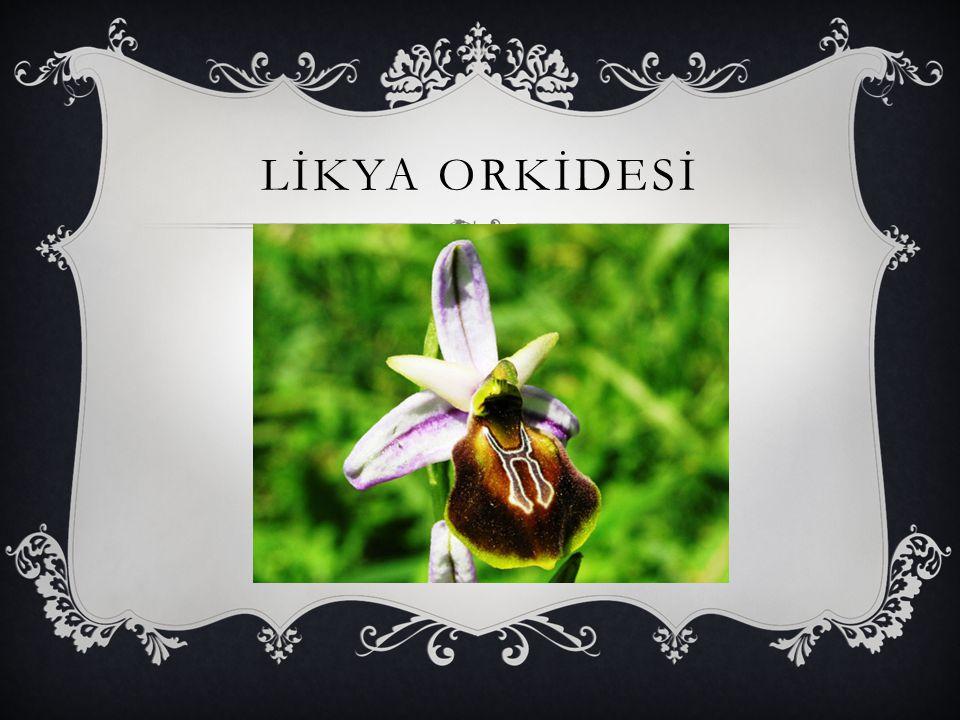LİKYA ORKİDESİ
