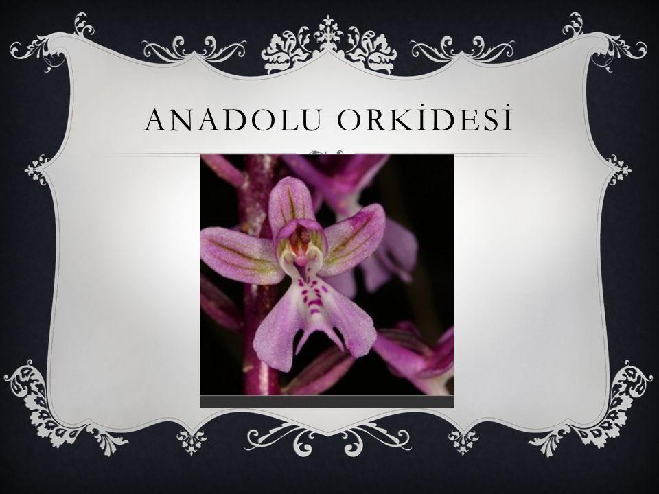 ANADOLU ORKİDESİ