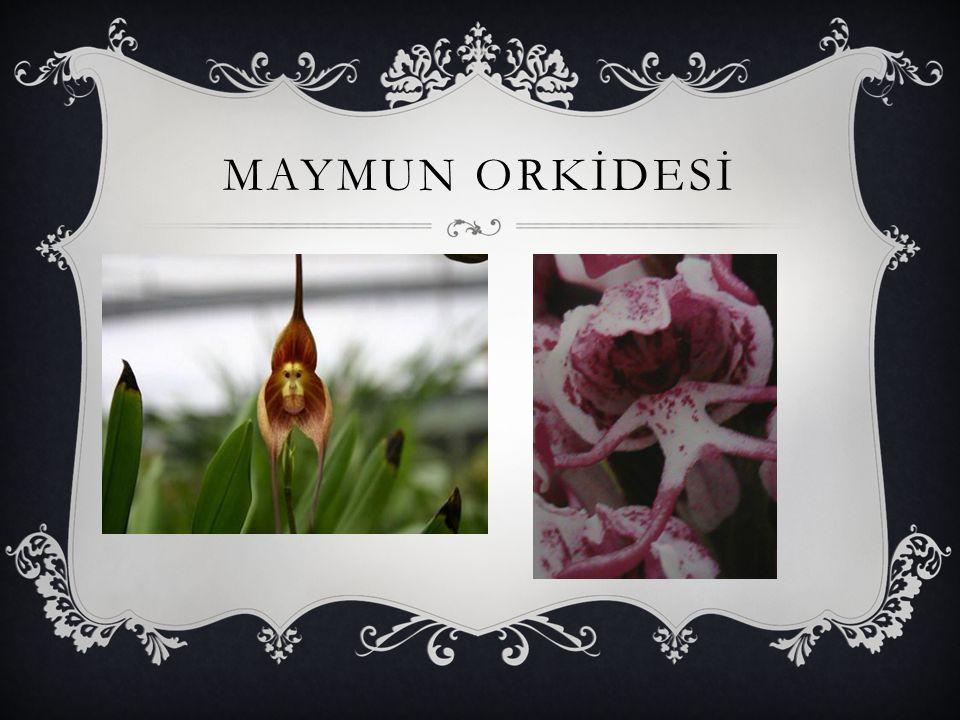 MAYMUN ORKİDESİ