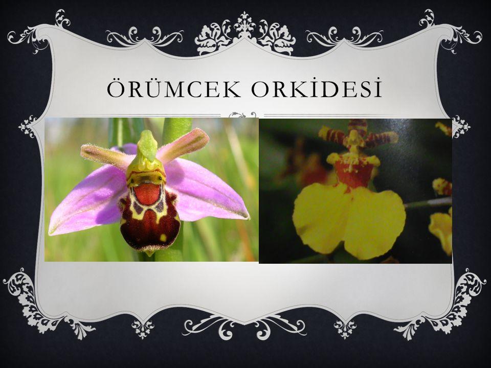 ÖRÜMCEK ORKİDESİ