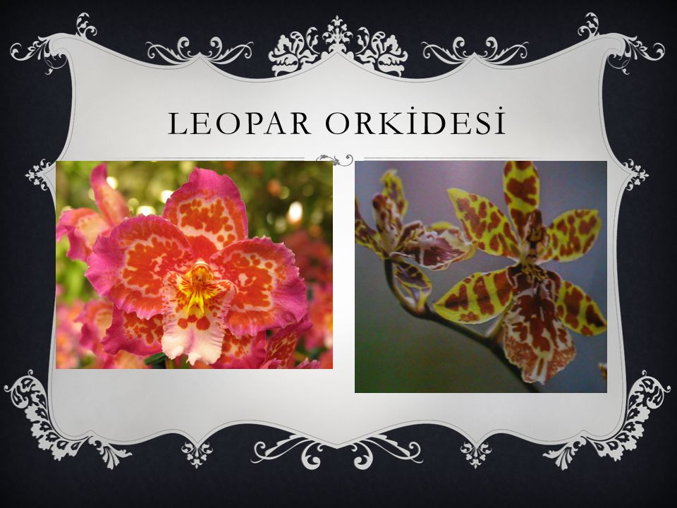 LEOPAR ORKİDESİ