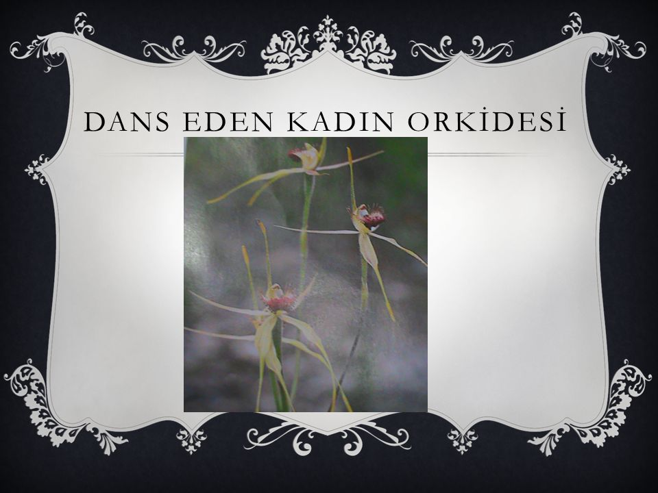 DANS EDEN KADIN ORKİDESİ