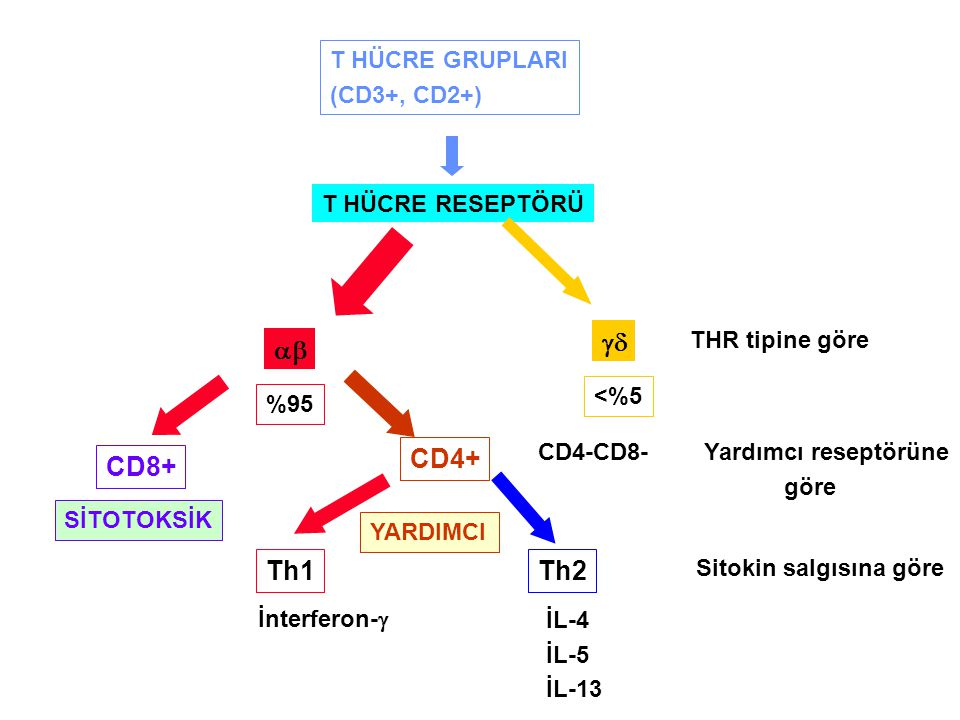 gd ab CD4+ CD8+ Th1 Th2 T HÜCRE GRUPLARI (CD3+, CD2+)