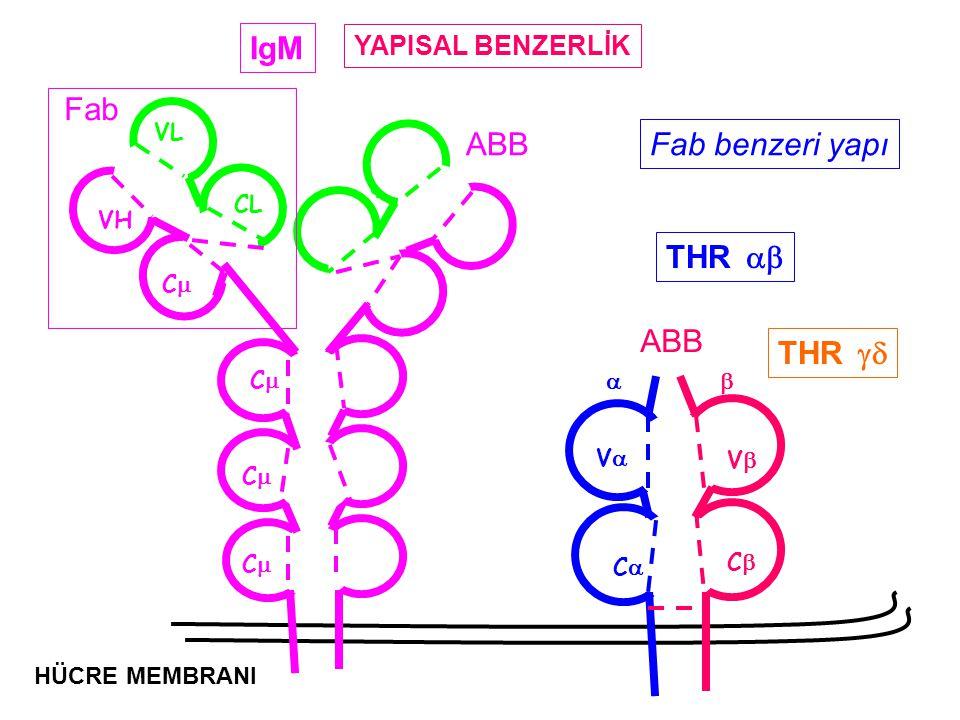 IgM Fab ABB Fab benzeri yapı THR ab ABB THR gd YAPISAL BENZERLİK VL a