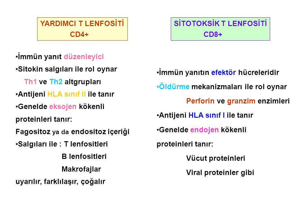 YARDIMCI T LENFOSİTİ CD4+ SİTOTOKSİK T LENFOSİTİ. CD8+ İmmün yanıt düzenleyici. Sitokin salgıları ile rol oynar.