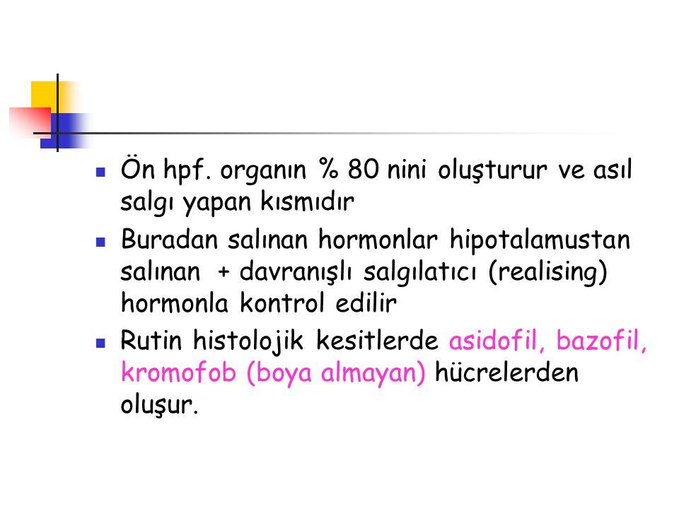 Ön hpf. organın % 80 nini oluşturur ve asıl salgı yapan kısmıdır