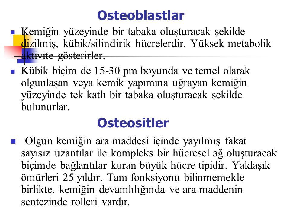 Osteoblastlar Osteositler