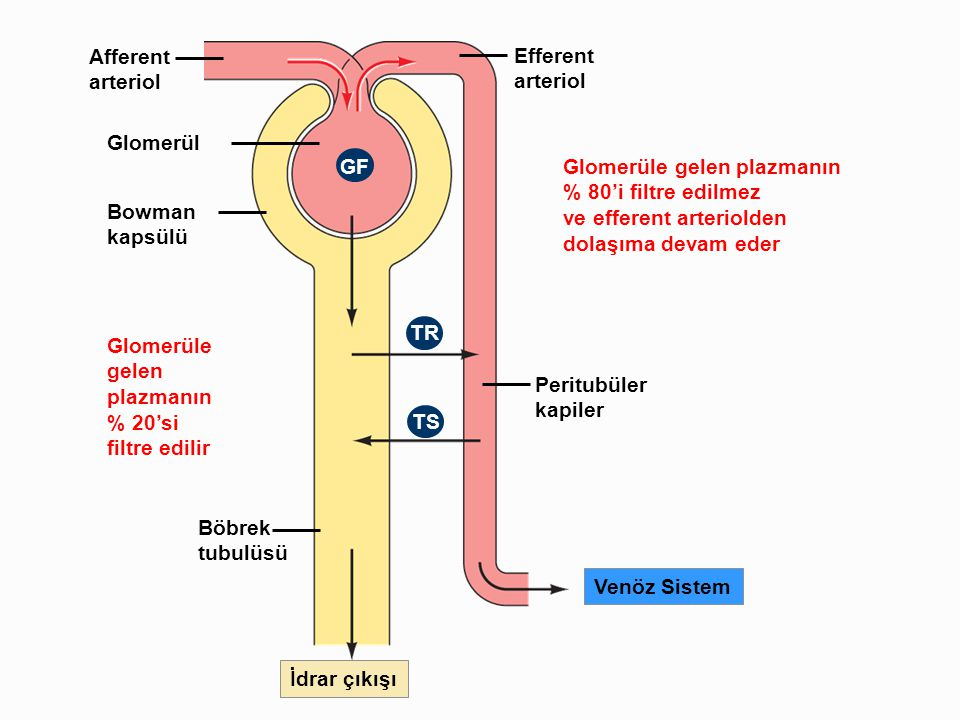Afferent arteriol. Efferent. Glomerüle gelen plazmanın. % 80'i filtre edilmez. ve efferent arteriolden.