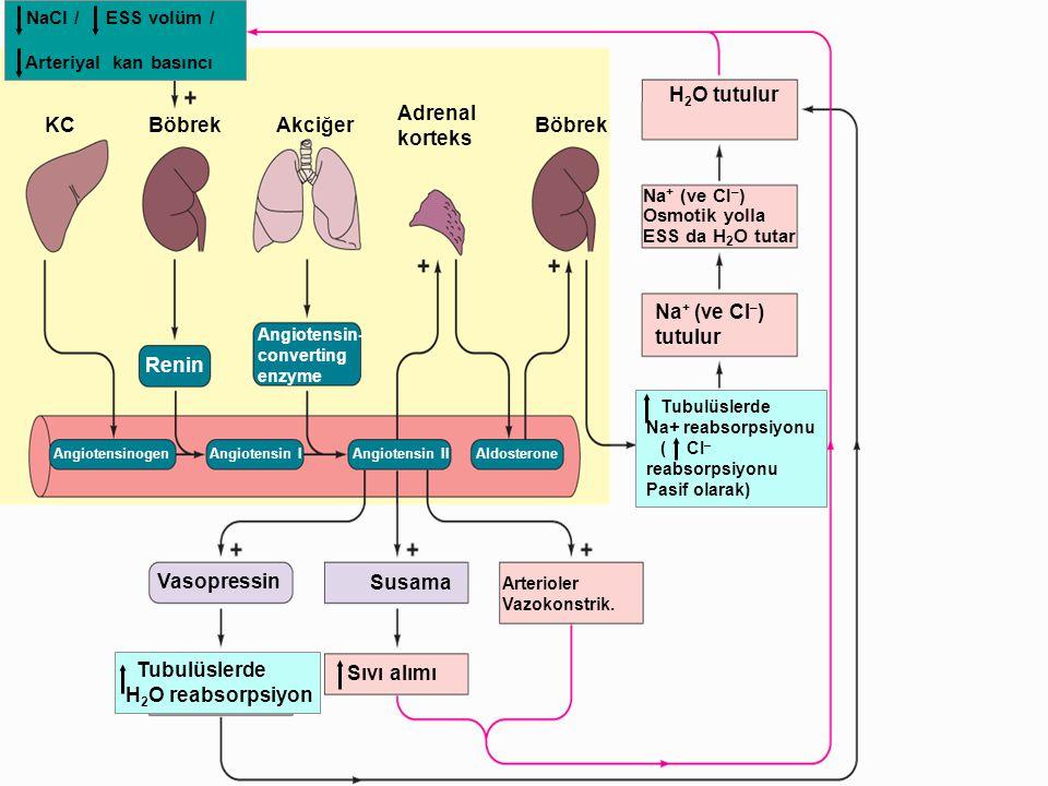 KC Böbrek Akciğer Adrenal korteks H2O tutulur tutulur Vasopressin