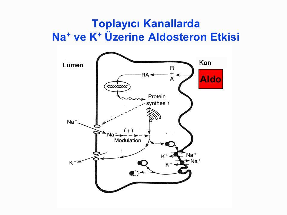 Toplayıcı Kanallarda Na+ ve K+ Üzerine Aldosteron Etkisi