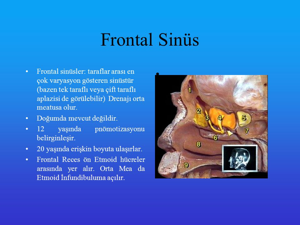 Frontal Sinüs