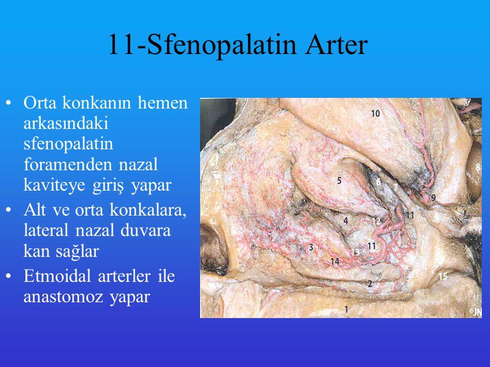 11-Sfenopalatin Arter Orta konkanın hemen arkasındaki sfenopalatin foramenden nazal kaviteye giriş yapar.