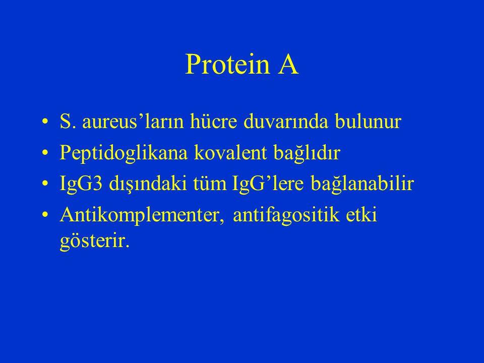 Protein A S. aureus'ların hücre duvarında bulunur