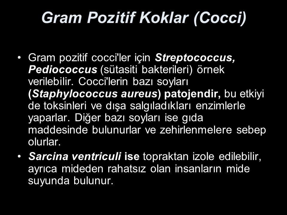 Gram Pozitif Koklar (Cocci)